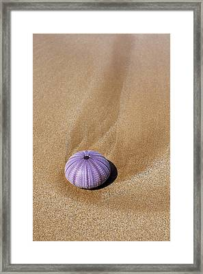 Purple Urchin Shell Framed Print by Jenna Szerlag