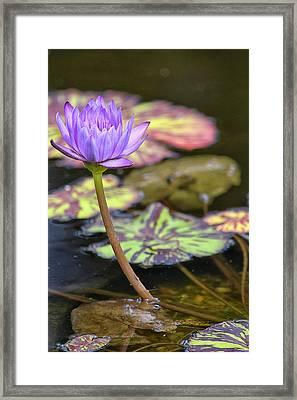 Purple Water Lilly Framed Print by Lauri Novak
