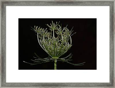 Queen Anne's Lace Closing Time Framed Print by Amanda Connelly
