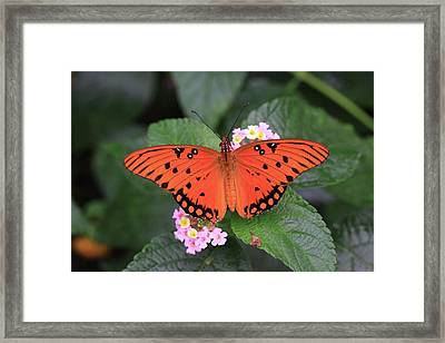 Queen Butterfly Framed Print by Rick Berk