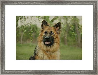 Queena - German Shepherd Framed Print by Sandy Keeton