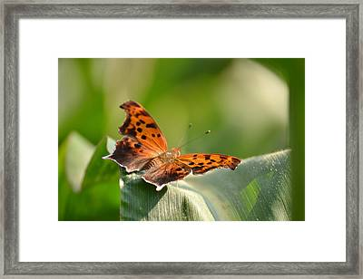 Question Mark Butterfly Framed Print by JD Grimes