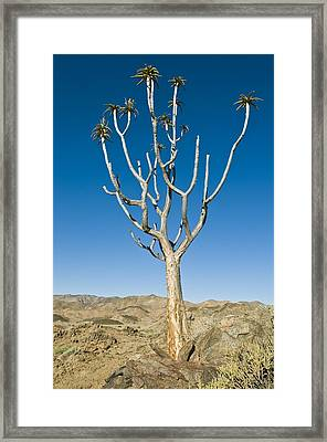 Quiver Tree Framed Print by Peter Chadwick