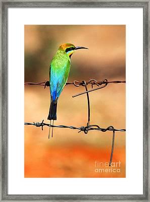 Rainbow Bee-eater Framed Print by Brian Gunter