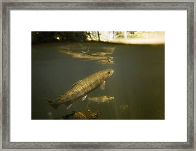 Rainbow Trout In Creek  Aptos California Framed Print by Sebastian Kennerknecht