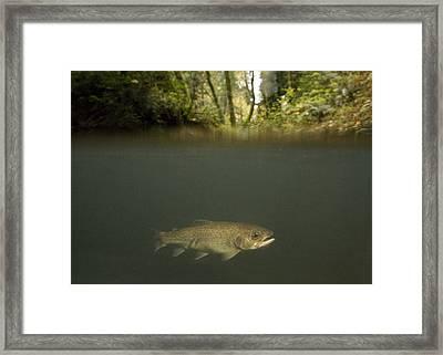 Rainbow Trout In Creek In Mixed Coast Framed Print by Sebastian Kennerknecht