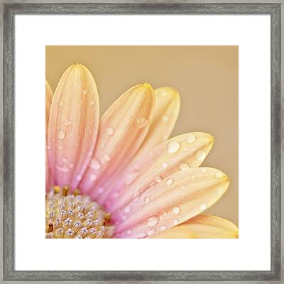 Raindropped Daisy Framed Print by Bonnie Bruno