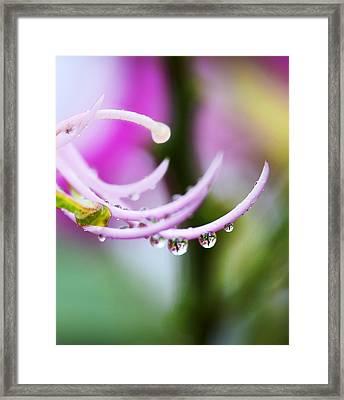 Raindrops On Amherstia Nobilis Framed Print by Marilyn Hunt