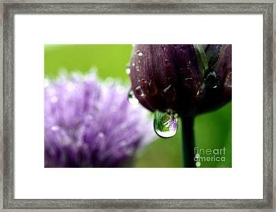 Raindrops On Chives In Bloom Framed Print by Thomas R Fletcher