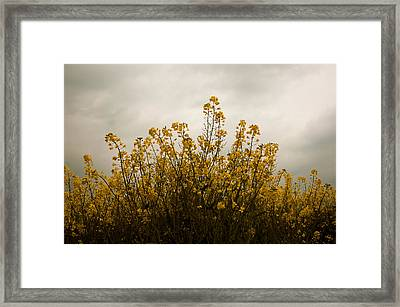 Rapes Field Framed Print by Svetlana Sewell