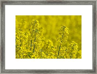 Rapeseed Blossoms Framed Print by Melanie Viola