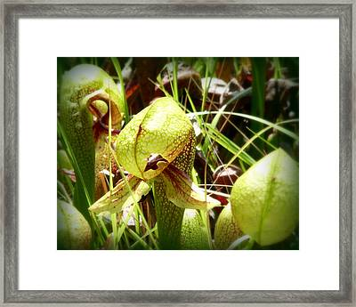 Rare Darlingtonia Plants 2 Framed Print by Cindy Wright
