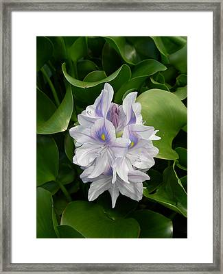 Rare Hawain Water Lilly Framed Print by Claude McCoy