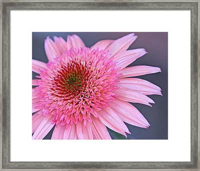 Rasberry Cone Framed Print by Becky Lodes