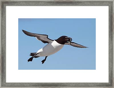Razorbill In Flight Framed Print by Bruce J Robinson