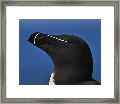 Razorbill Portrait Framed Print by Tony Beck