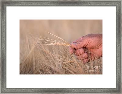 Ready To Harvest Framed Print by Cindy Singleton