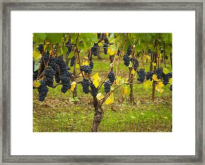 Ready To Pick Framed Print by Jean Noren