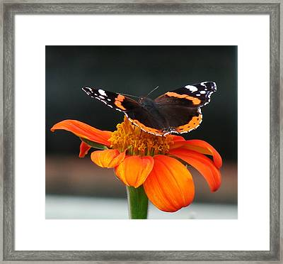 Red Admiral Framed Print by Nicola Butt