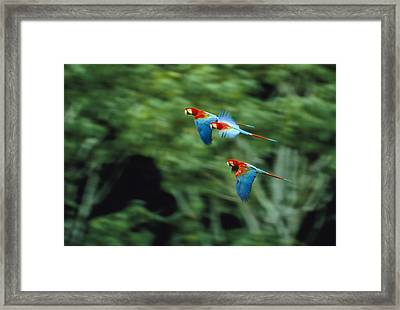 Red-and-green Macaws In Flight Framed Print by Joel Sartore