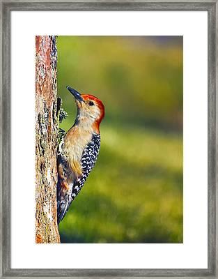 Red-bellied Tree Pecker Framed Print by Bill Tiepelman