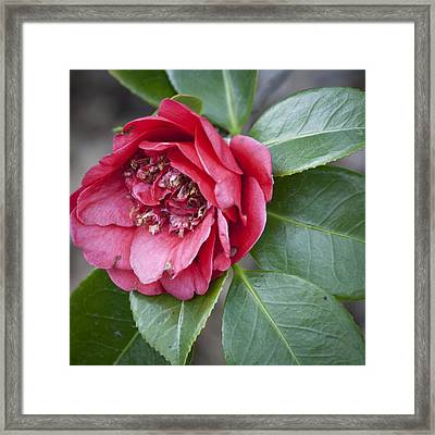 Red Camellia Squared Framed Print by Teresa Mucha