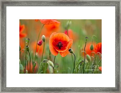 Red Corn Poppy Flowers 07 Framed Print by Nailia Schwarz