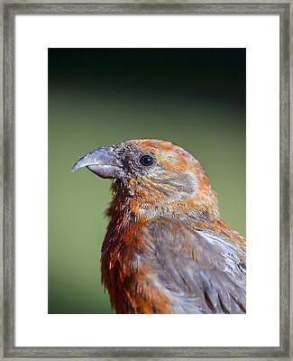 Red Crossbill Framed Print by Derek Holzapfel