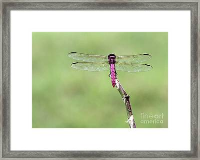 Red Dragonfly Dancer Framed Print by Sabrina L Ryan