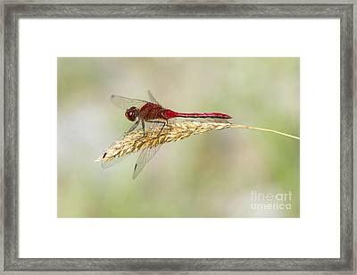Red Dragonfly Framed Print by Sharon Talson