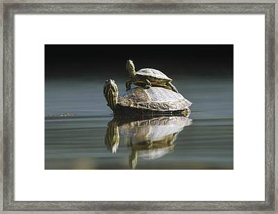 Red Eared Sliders In Pond Framed Print by Konrad Wothe