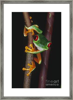 Red-eyed Tree Frog Agalychnis Callidryas Framed Print by Gregory G. Dimijian, M.D.