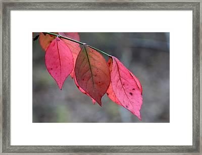Red Fall Leaf  Framed Print by Rick Rauzi