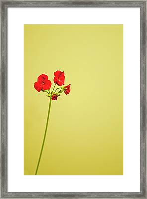 Red Geranium Framed Print by Gail Shotlander