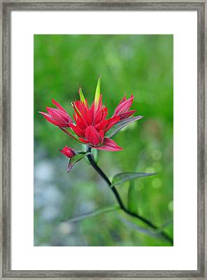 Red Indian Paintbrush Framed Print by Lisa Phillips