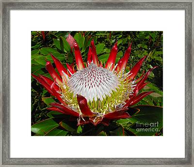 Red King Protea Framed Print by Rebecca Margraf