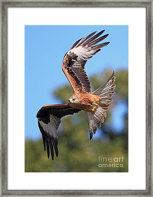 Red Kite On A Mission Framed Print by Clare Scott