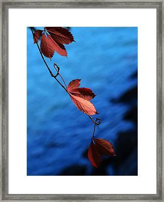 Red Maple Leaves Framed Print by Paul Ge