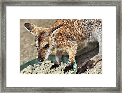 Red-necked Wallaby Framed Print by Kaye Menner