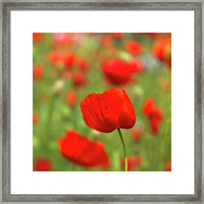 Red Poppies In Cornfield Framed Print by Kees Smans
