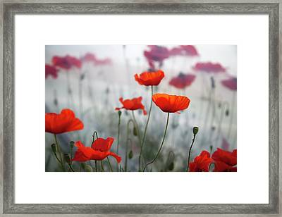 Red Poppies(papaver Rhoeas)  And Polytunnel Framed Print by Pascal Preti