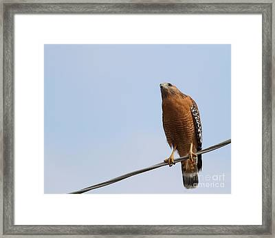 Red-shouldered Hawk . 7d10252 Framed Print by Wingsdomain Art and Photography