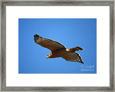 Red Shouldered Hawk In Flight Framed Print by Carol Groenen