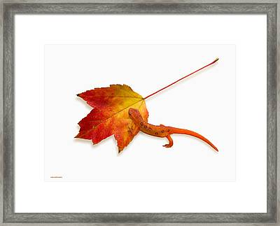 Red Spotted Newt Framed Print by Ron Jones