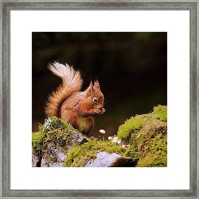 Red Squirrel Eating Nuts Framed Print by BlackCatPhotos