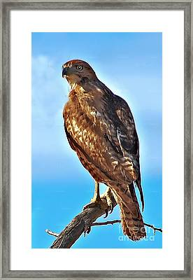 Red Tail Hawk Framed Print by Robert Bales