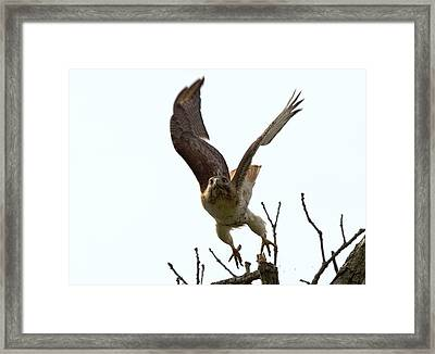 Red Tail Hawk Takeoff Framed Print by Ron Sgrignuoli