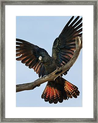 Red Tailed Black Cockatoo Framed Print by Heather Thorning