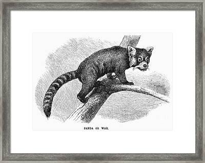 Red-tailed Panda Framed Print by Granger