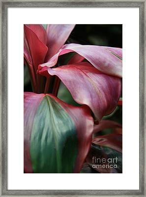 Red Ti - Cordyline Terminalis Framed Print by Sharon Mau